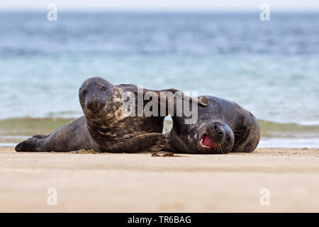 gray seal (Halichoerus grypus), two playing young animals on the beach, front view , Germany, Schleswig-Holstein, Heligoland - Stock Photo