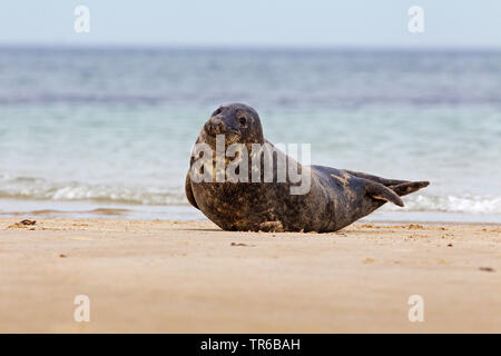 gray seal (Halichoerus grypus), young animal on the beach, Germany, Schleswig-Holstein, Heligoland - Stock Photo