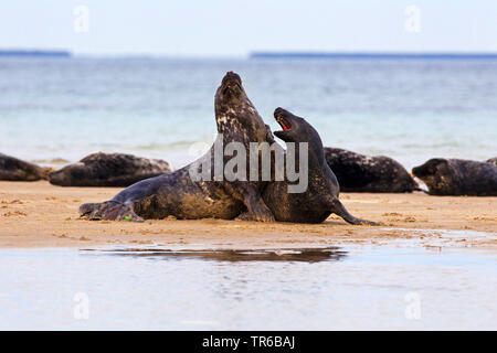 gray seal (Halichoerus grypus), two young animals playing together on the beach, Germany, Schleswig-Holstein, Heligoland - Stock Photo