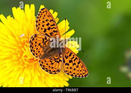 niobe fritillary (Argynnis niobe, Fabriciana niobe), sitting on a with opened wings, view from above, Germany, Baden-Wuerttemberg - Stock Photo