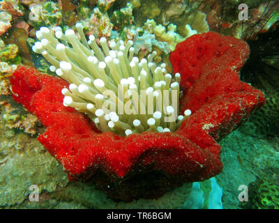 sea anemones (Actiniaria), half surrounded by a red sponge, Philippines, Southern Leyte, Panaon Island, Pintuyan - Stock Photo