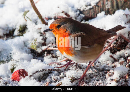 European robin (Erithacus rubecula), foraging in the snow, side view, Switzerland, Sankt Gallen - Stock Photo