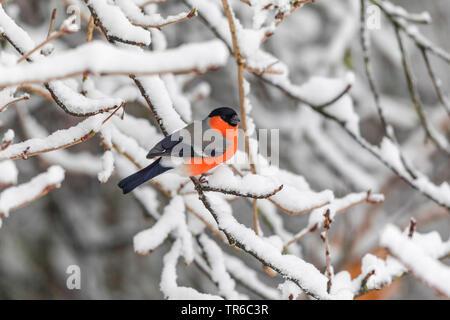bullfinch, Eurasian bullfinch, northern bullfinch (Pyrrhula pyrrhula), male sitting in a snow-covered cherry branch, side view, Germany, Bavaria - Stock Photo