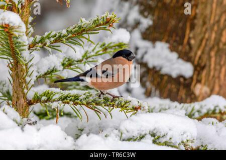 bullfinch, Eurasian bullfinch, northern bullfinch (Pyrrhula pyrrhula), female sitting on a snow-covered fir, side view, Germany, Bavaria, Isental - Stock Photo