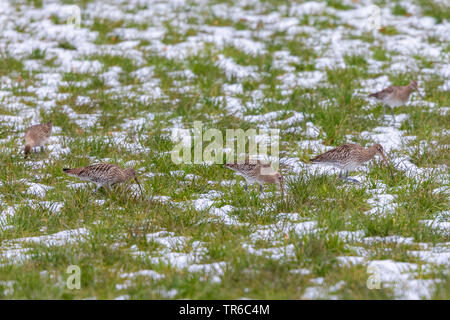 western curlew (Numenius arquata), group foraging in a sno-covered meadow, Germany, Bavaria - Stock Photo