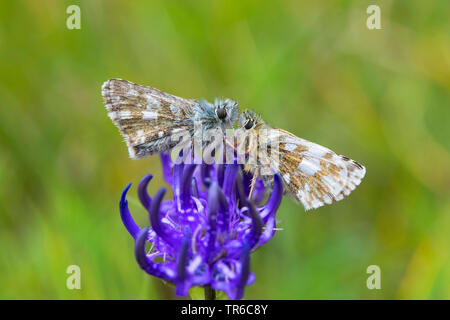 dusky grizzled skipper (Pyrgus cacaliae), two dusky grizzled skippers sitting on rampion, side view, Germany - Stock Photo