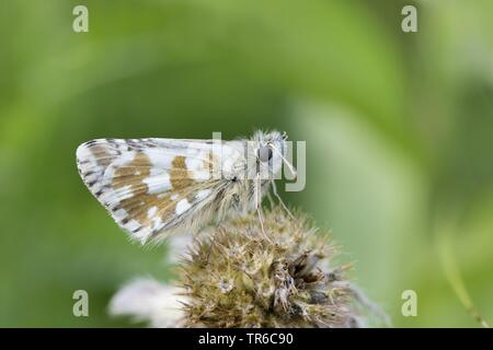 dusky grizzled skipper (Pyrgus cacaliae), imago, side view, Germany - Stock Photo