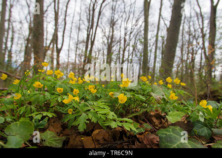 yellow anemone, yellow wood anemone, buttercup anemone (Anemone ranunculoides), blooming in a spring forest, Germany, Bavaria - Stock Photo