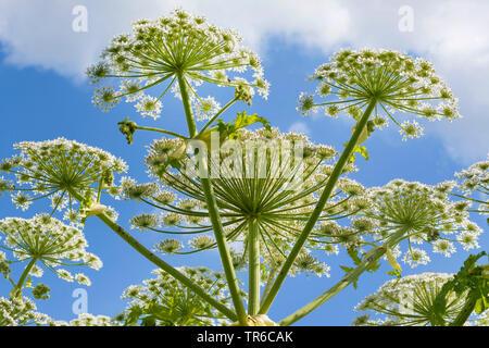 Giant hogweed (Heracleum mantegazzianum), inflorescence from below, Germany, Bavaria - Stock Photo