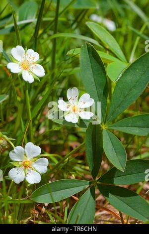 White Cinquefoil (Potentilla alba), blooming, Germany, Bavaria - Stock Photo