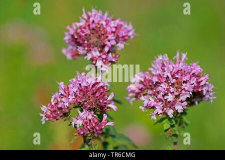 wild origanum, wild marjoram (Origanum vulgare), blooming, Germany - Stock Photo