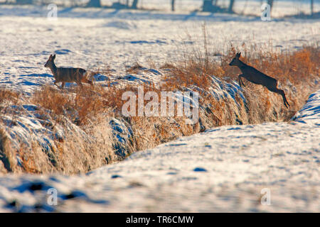roe deer (Capreolus capreolus), jumping over a ditch in wintry arable land, side view, Germany, Bavaria - Stock Photo