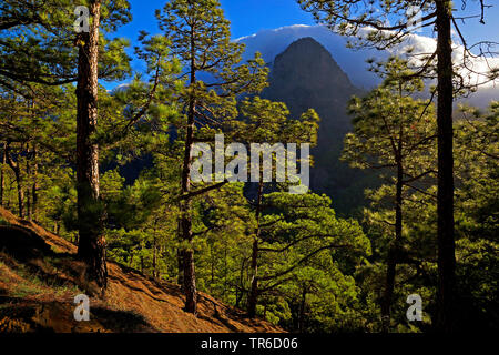 Canary pine (Pinus canariensis), pine forest in La Cumbrecita, Canary Islands, La Palma - Stock Photo