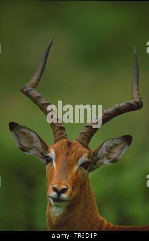 black-faced impala (Aepyceros melampus petersi, Aepyceros petersi), buck, portrait, Namibia - Stock Photo