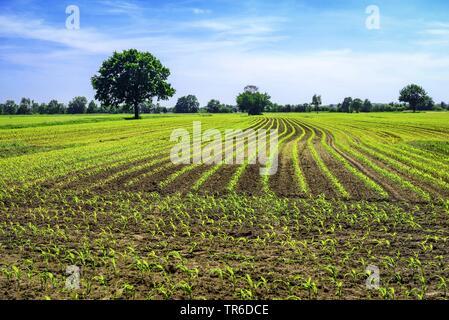 young mayse field, Germany, Hamburg - Stock Photo