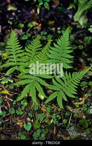narrow beech fern, northern beech fern (Phegopteris connectilis, Thelypteris phegopteris), fronds, Germany - Stock Photo