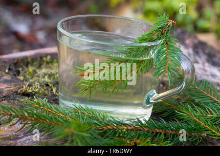 Norway spruce (Picea abies), tree from spruce needle, Germany - Stock Photo
