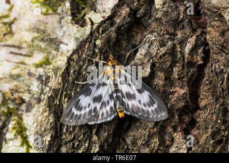 Small magpie (Eurrhypara hortulata, Eurrhypara urticata, Eurrhypara urticalis, Anania hortulata), sitting at birch bark, view from above, Germany - Stock Photo