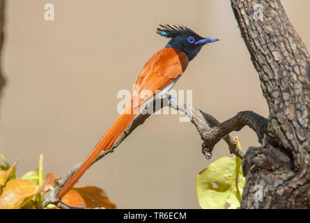 Asiatic paradise flycatcher (Terpsiphone paradisi), male sitting on a branch, side view, India, Pench National Park - Stock Photo