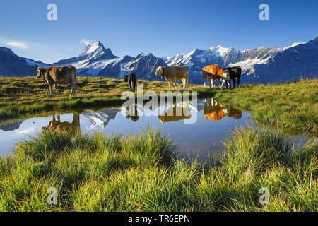 Simmentaler Fleckvieh (Bos primigenius f. taurus), cows on alp pasture, Schreckhorn and Finsteraarhorn mountains in background, Switzerland, Bernese Oberland - Stock Photo