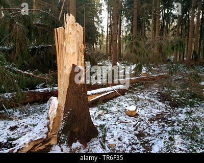 Norway spruce (Picea abies), broken trunk after a storm in winter, Germany, North Rhine-Westphalia - Stock Photo