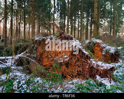 Norway spruce (Picea abies), fallen trunk after a storm in winter, Germany, North Rhine-Westphalia - Stock Photo