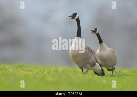 Canada goose (Branta canadensis), two conflicting Canada geese in a meadow, Germany - Stock Photo