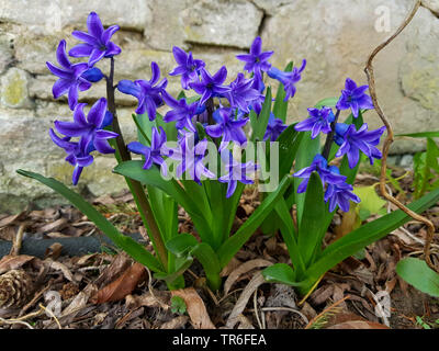 Jacinthe (Hyacinthus orientalis), blooming, Germany - Stock Photo