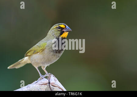Yellow-faced Grassquit (Tiaris olivaceus), male sitting on a log, Cuba, Cayo Coco - Stock Photo