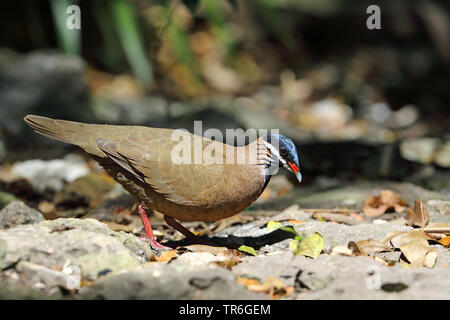 blue-headed quail dove (Starnoenas cyanocephala), searching for food on the ground, Cuba, Zapata  National Park - Stock Photo