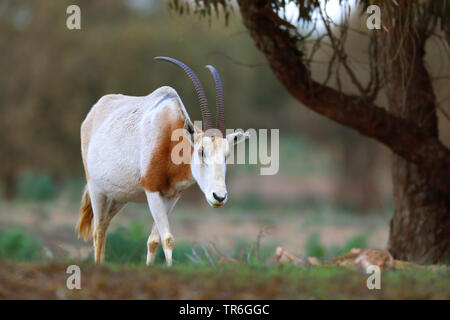 scimitar oryx, scimitar-horned oryx (Oryx dammah), walking individual animal, Morocco, Souss Massa National Park - Stock Photo