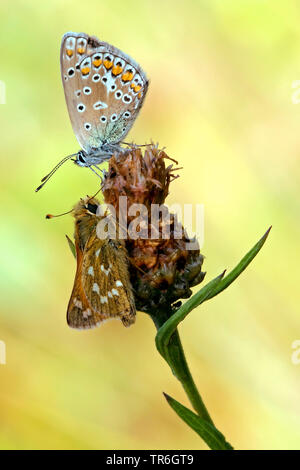 common blue (Polyommatus icarus), with Silver-spotted skipper, Hesperia comma, on a knapweed, Germany, North Rhine-Westphalia, Bergisches Land - Stock Photo