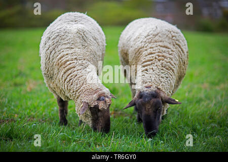 domestic sheep (Ovis ammon f. aries), two sheep grazing side by side in a meadow, Germany - Stock Photo