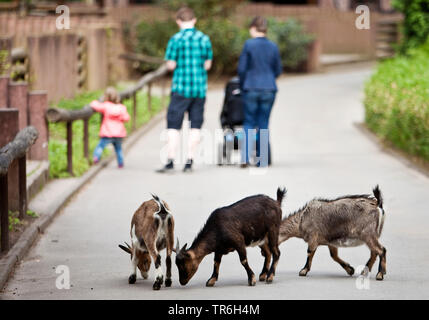 domestic goat (Capra hircus, Capra aegagrus f. hircus), goats in a zoo searching for food on a path, Germany, North Rhine-Westphalia, Ruhr Area, Dortmund - Stock Photo