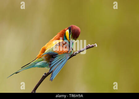 European bee eater (Merops apiaster), grooming the plumage on a branch, Germany, Baden-Wuerttemberg, Kaiserstuhl - Stock Photo