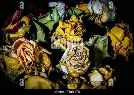 ornamental rose (Rosa spec.), withered bouquet of roses - Stock Photo