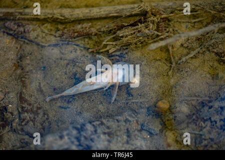 Miller's thumb, bullhead (Cottus gobio), mass death of fish on passing manure into a creek, Germany, Bavaria - Stock Photo
