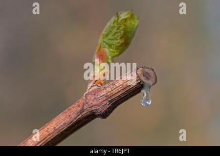 grape-vine, vine (Vitis vinifera), bleeding after cutting, Germany - Stock Photo
