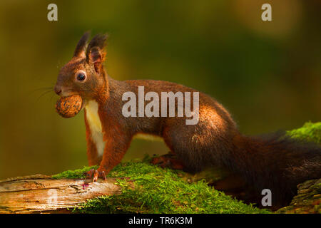 European red squirrel, Eurasian red squirrel (Sciurus vulgaris), with walnut in the mouth, Germany - Stock Photo