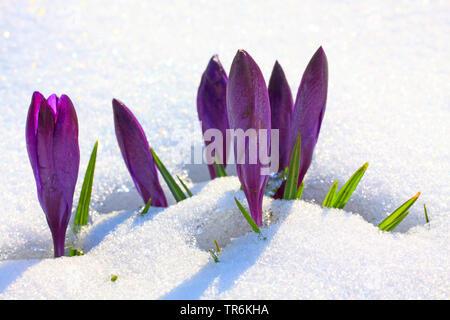 Dutch crocus, spring crocus (Crocus vernus, Crocus neapolitanus), crocuses in snow, Germany - Stock Photo