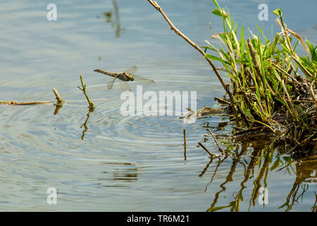 black-tailed skimmer (Orthetrum cancellatum), female hovering in the air for oviposition over a stretch of water, Germany, Bavaria, Niederbayern, Lower Bavaria - Stock Photo