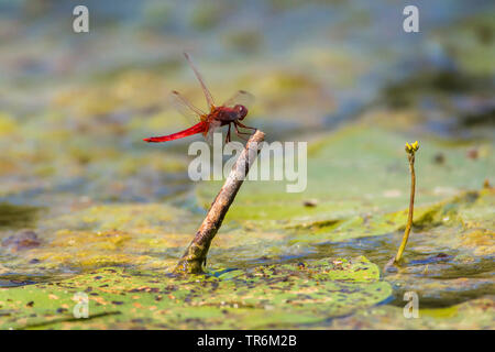 Broad Scarlet, Common Scarlet-darter, Scarlet Darter, Scarlet Dragonfly (Crocothemis erythraea, Croccothemis erythraea), male landing on a lookout in the water, Germany, Bavaria, Niederbayern, Lower Bavaria - Stock Photo
