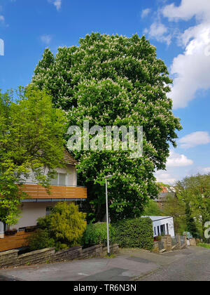 common horse chestnut (Aesculus hippocastanum), blooming tree in a frontgarden, Germany - Stock Photo