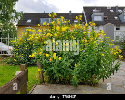 Large-Flowered Evening, Red-Sepaled Evening-Primrose, Large-Leaved Evening Primerose (Oenothera glazioviana, Oenothera erythrosepala), blooming in a garden, Germany - Stock Photo