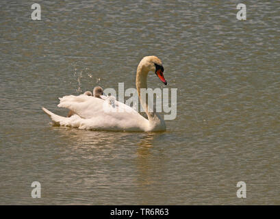 mute swan (Cygnus olor), swimming with chicks on the back, Germany, Saxony - Stock Photo