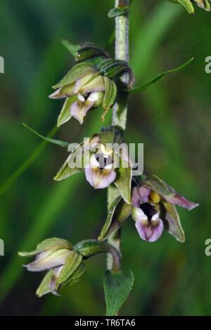 Broad-leaved helleborine, Eastern helleborine (Epipactis helleborine), Netherlands - Stock Photo