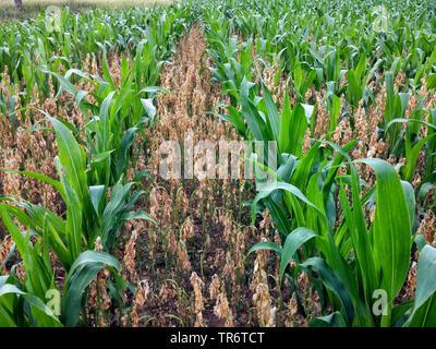 Indian corn, maize (Zea mays), fava beans as nurse crop in maize field for nitrogen fixation, Germany, North Rhine-Westphalia - Stock Photo