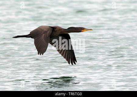 Ohrenscharbe, Ohren-Scharbe (Phalacrocorax auritus), USA | double-crested cormorant (Phalacrocorax auritus), USA | BLWS490416.jpg [ (c) blickwinkel/AG - Stock Photo