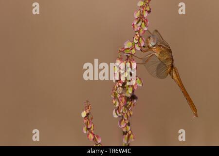 Broad Scarlet, Common Scarlet-darter, Scarlet Darter, Scarlet Dragonfly (Crocothemis erythraea, Croccothemis erythraea), female, Netherlands, Gelderland - Stock Photo