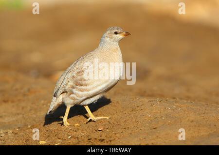 Arabisches Wuestenhuhn (Ammoperdix heyi), Weibchen, Oman, Salalah | sand partridge (Ammoperdix heyi), female, Oman, Salalah | BLWS491106.jpg [ (c) bli - Stock Photo